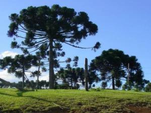 Pinheiro do Paraná