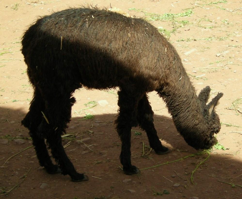 alpaca huayaco