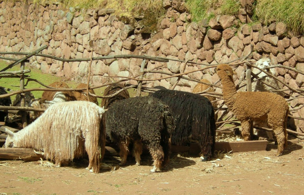 "alpacas huayacos & suris (the ""suri"" really needs a shave!)"