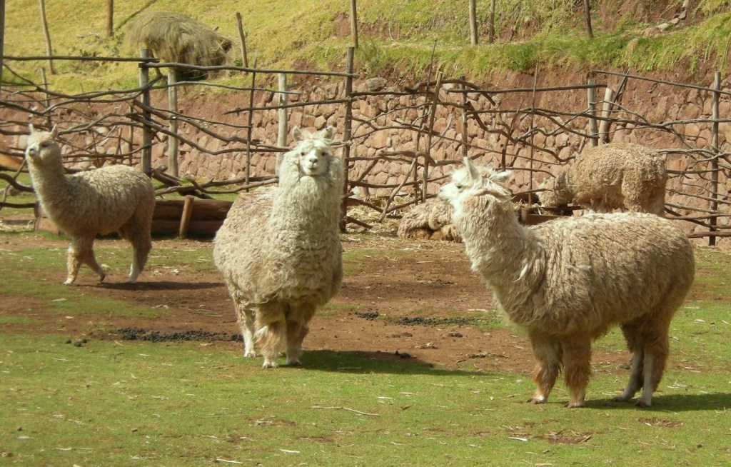 These alpacas may be shorn soon! I love their expressive faces!