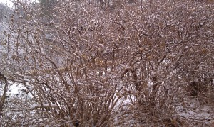 My cell phone camera took this pretty shot of bushes during a snowfall next to a parking lot.