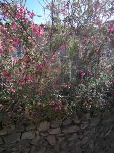 Kantu flowers