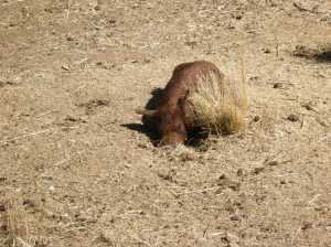 A boar nuzzling the ground for food.