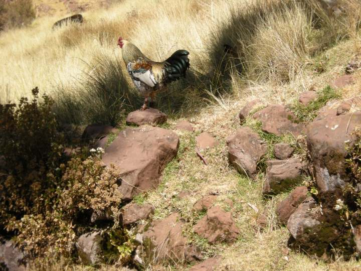 A colorful rooster wanders among the rocks and grass.