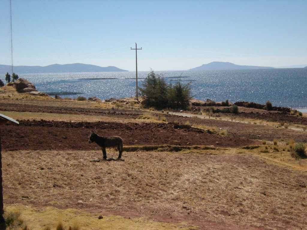 This donkey stands in a field, while in the distance, Lake Titicaca glistens in the sun.