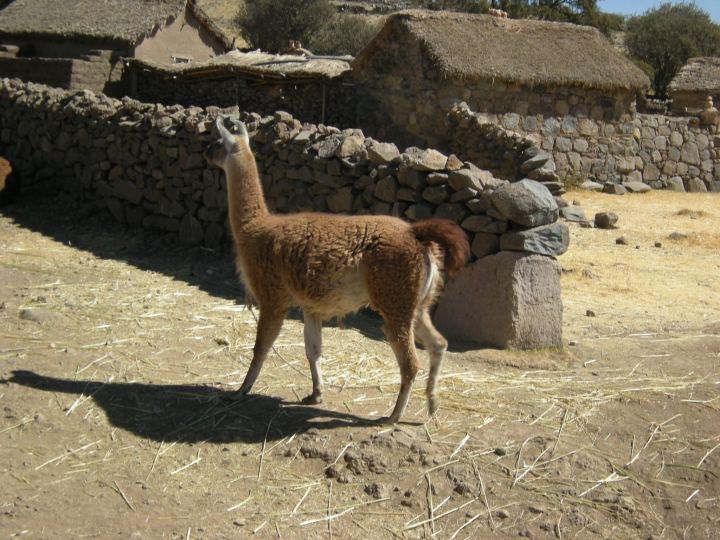 Llama on the farm