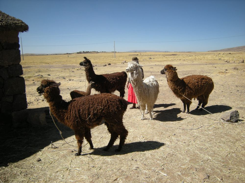 Farm woman with alpacas
