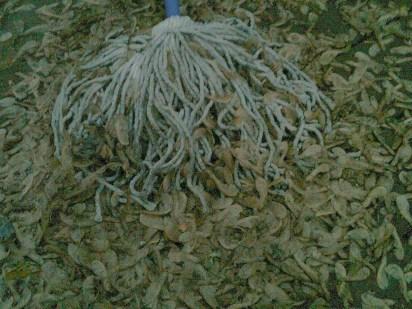 mop & maple seeds