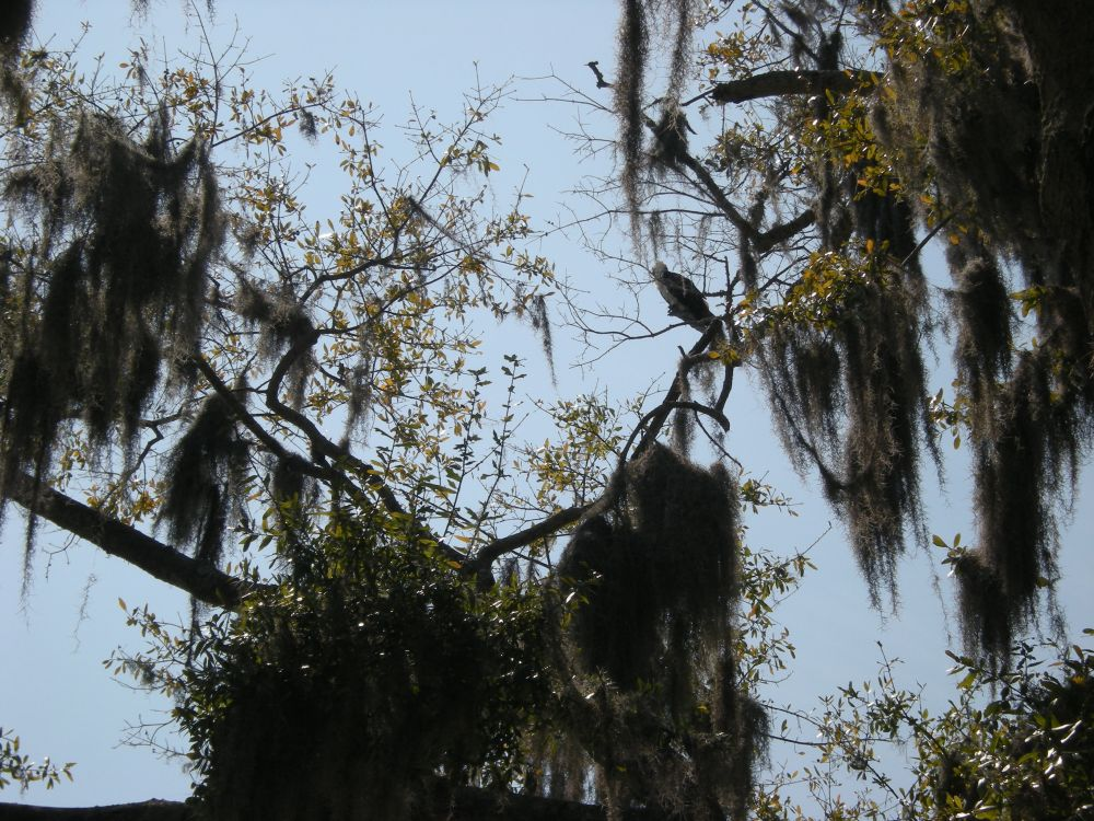 There's a hawk in this tree, almost camouflaged by the Spanish moss! He's sitting on the branch halfway up on the right.