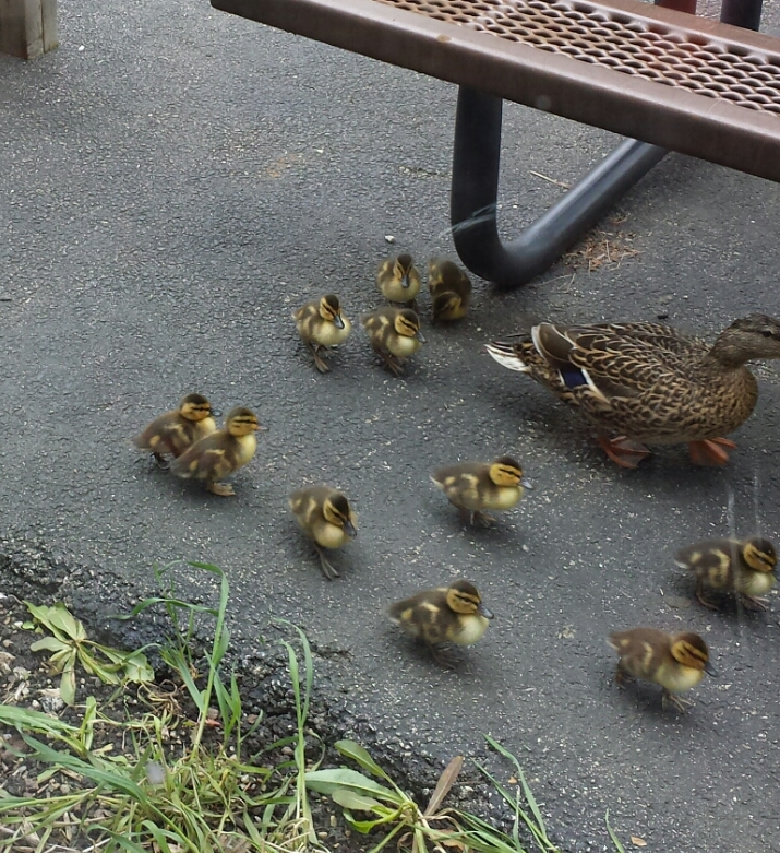 Mother duck with her eleven ducklings, May 13, 2015.
