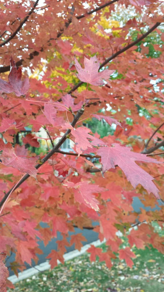 Close-up maple leaves