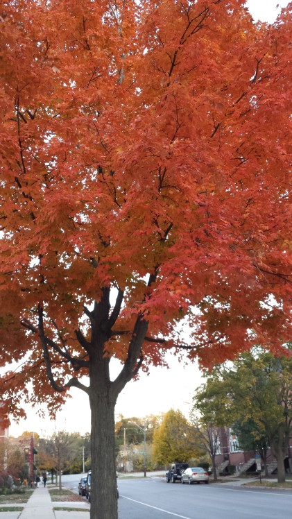 Another flaming maple shows off her brilliance.