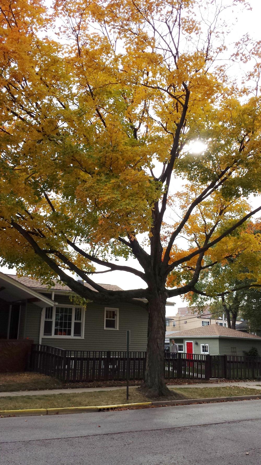Sun filters through canopy of an autumn maple