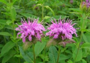 bergamot-plants