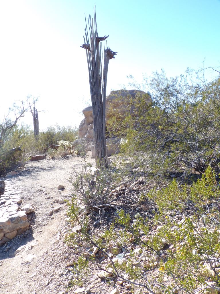This dead saguaro's spines are used for building materials.