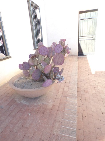 Santa Rita prickly pear turns purple when the weather is cold.