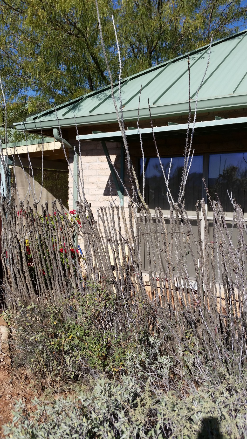 photo essay arizona sonoran desert museum wanderlust and wonderment fence made the ocotillo plant some of it continues growing