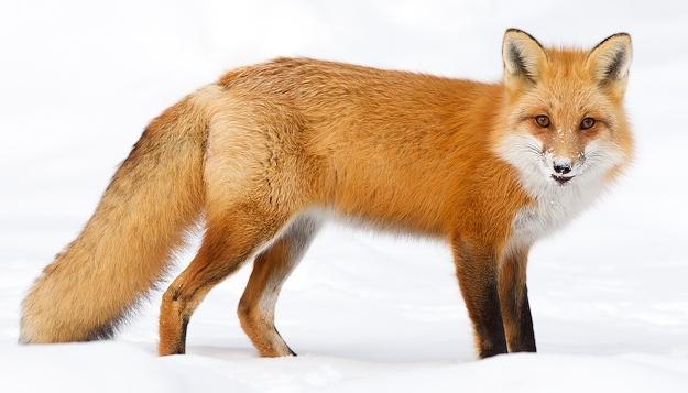red_fox-5420