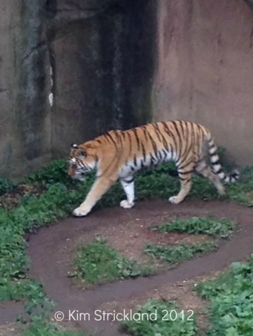 tiger pacing