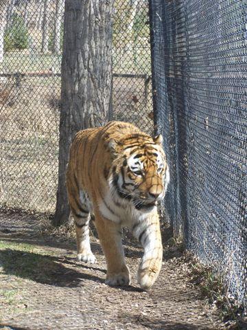 tigerfront
