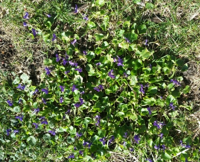 A patch of violets in my backyard