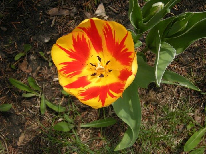 F-09 inside an open tulip