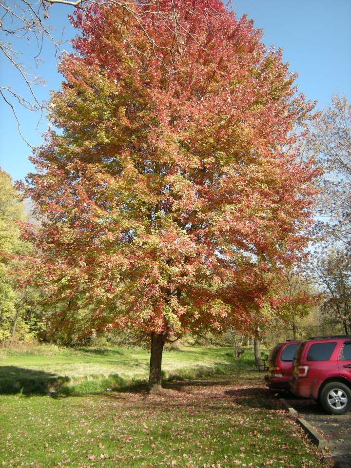 Brilliant autumn maple which greeted us at Apple River Canyon State Park.