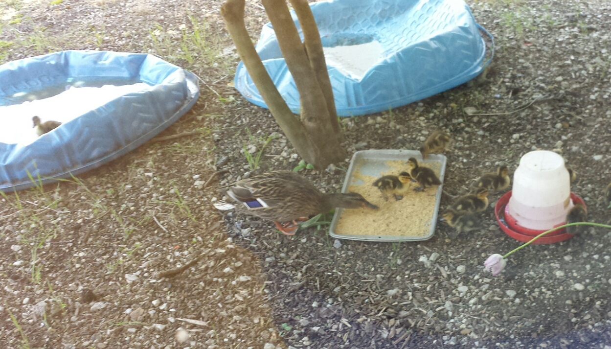 Kim Haas also puts out food for the ducks.