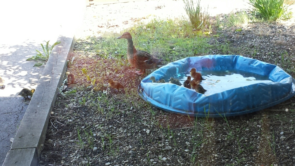 """Kim Haas creates this little """"pond"""" for the ducks to swim in."""