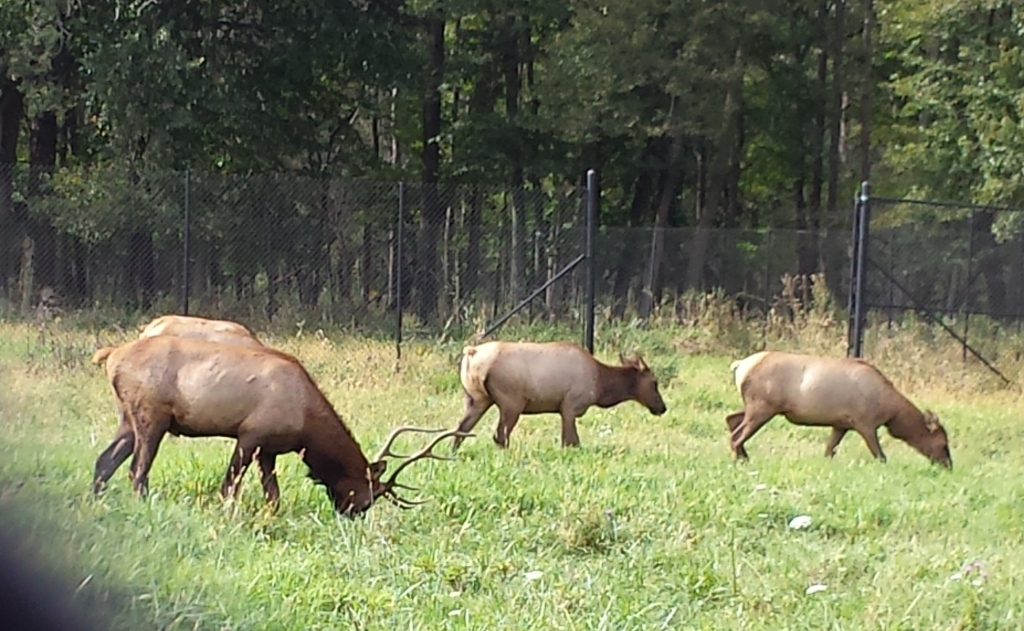 Elk at Busse Woods