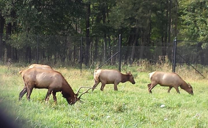 Elk at Busse Woods