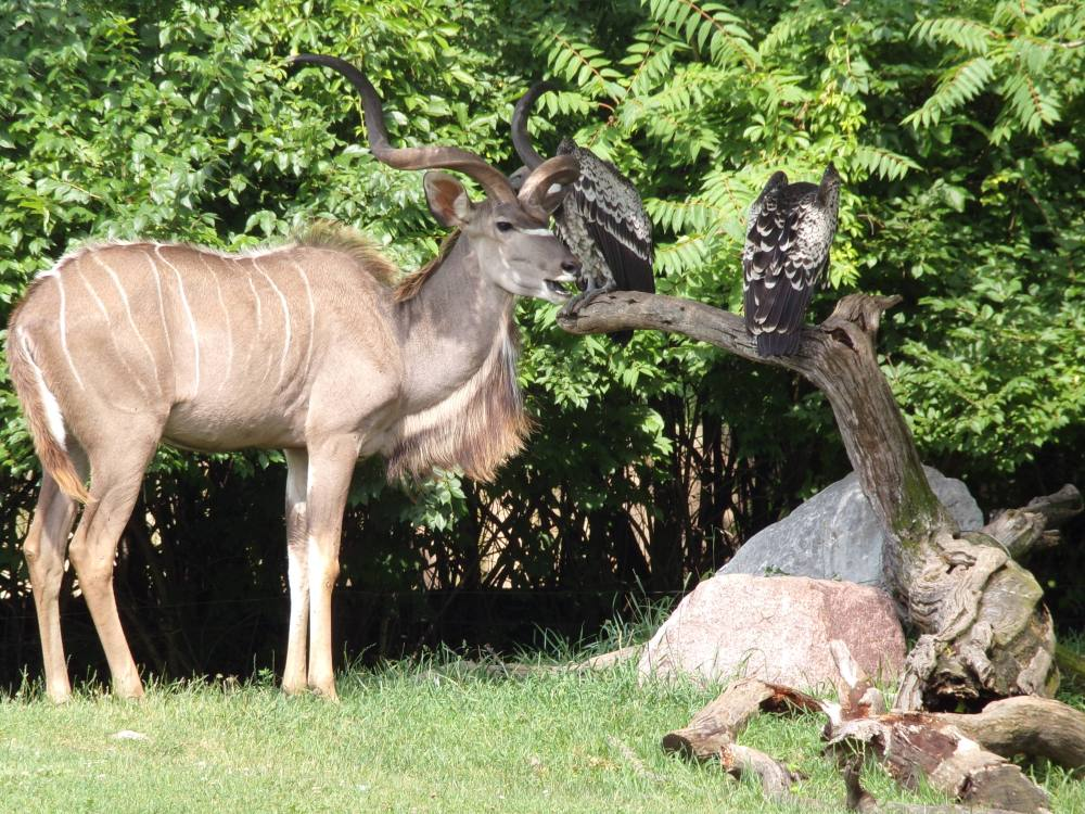 This adult kudu has a mane on his neck and beautiful curved horns.
