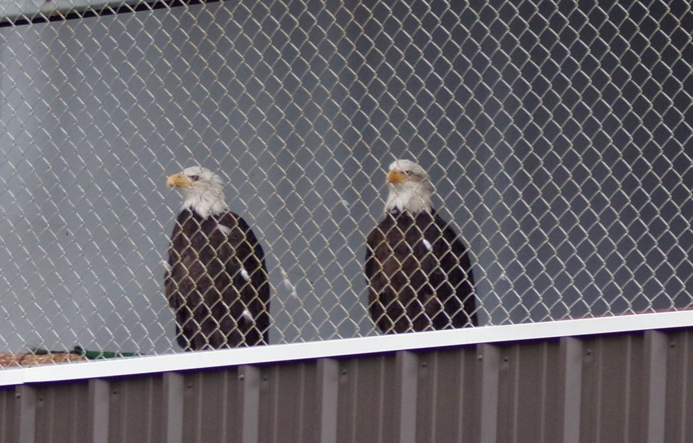 "The bald eagle ""sisters"" at their favorite lookout!"