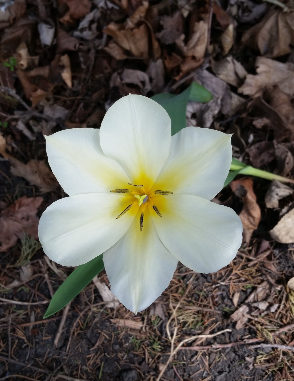 White tulip opens to the sun