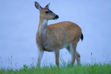 sitka_black_tailed_deer