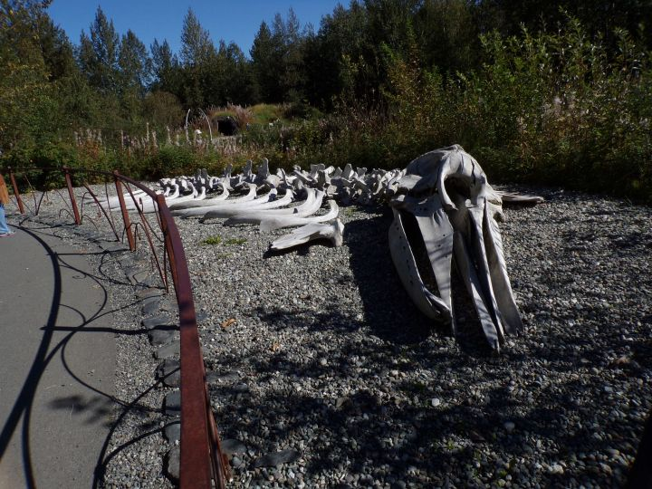 Skeleton of a grey whale