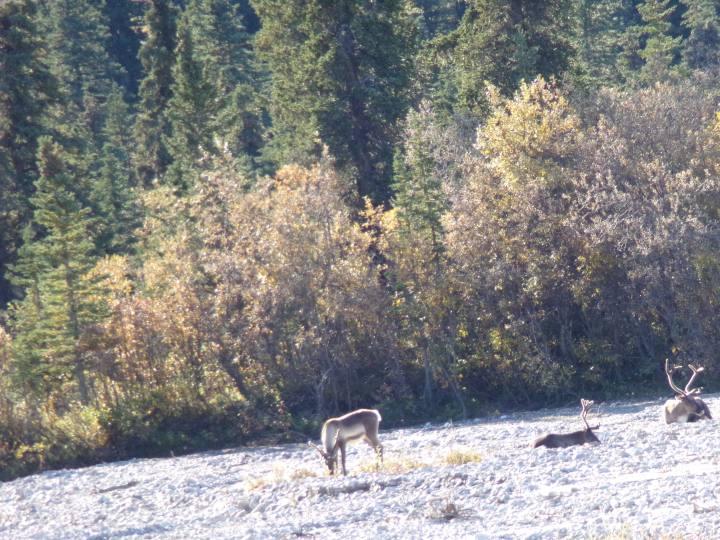 Caribou closer up