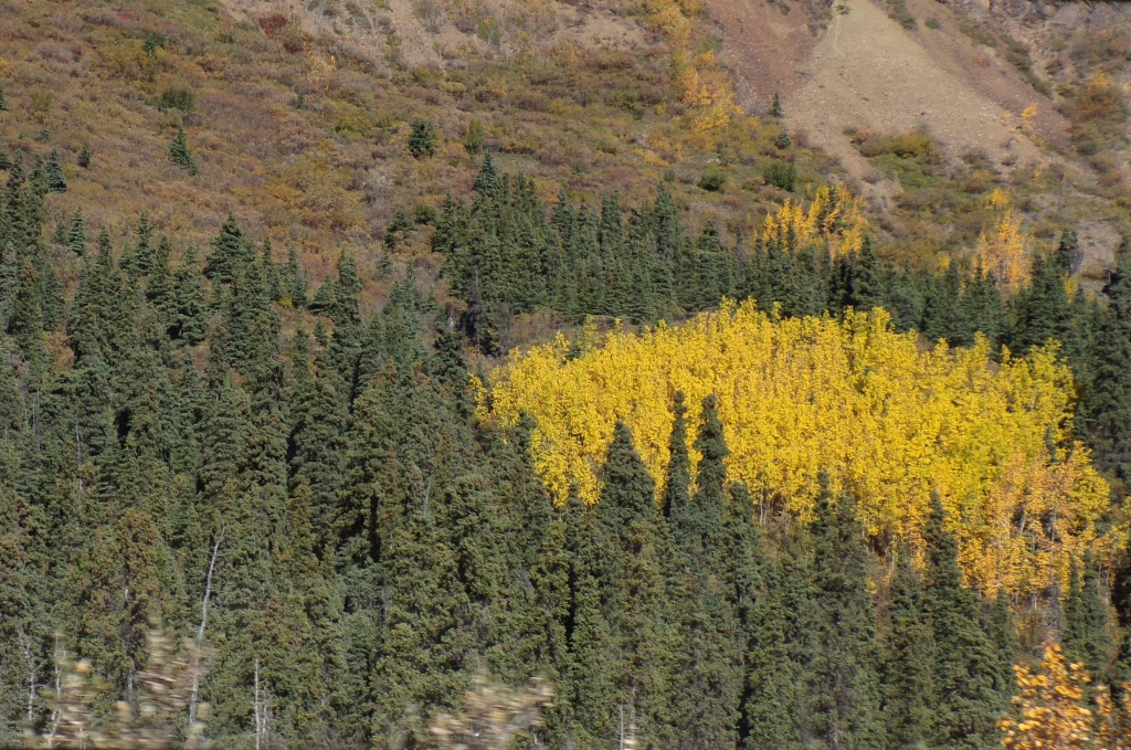 A stand of yellow aspen in the midst of green spruce