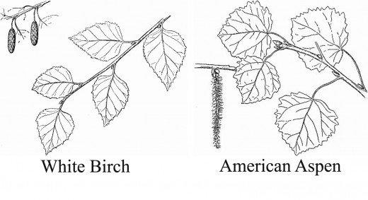 aspen-birch-leaves