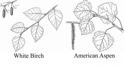 aspen-birch-leaves