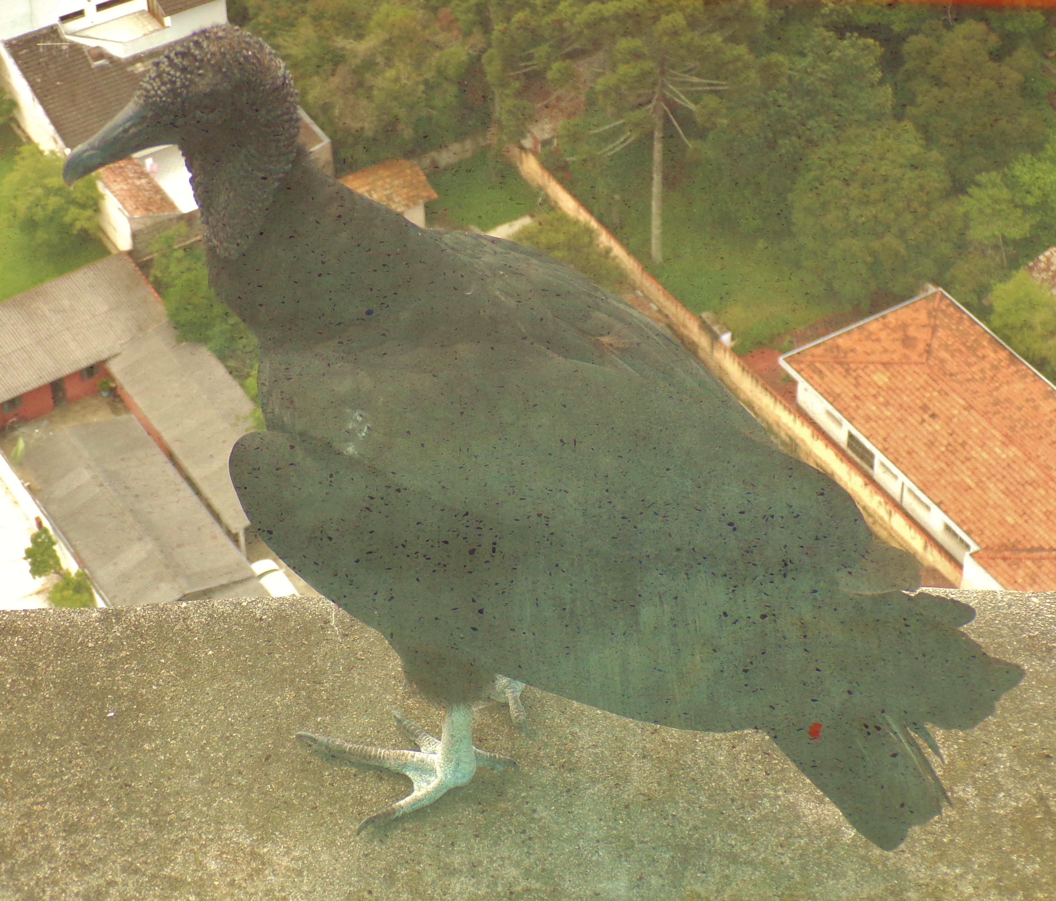Vulture on the ledge