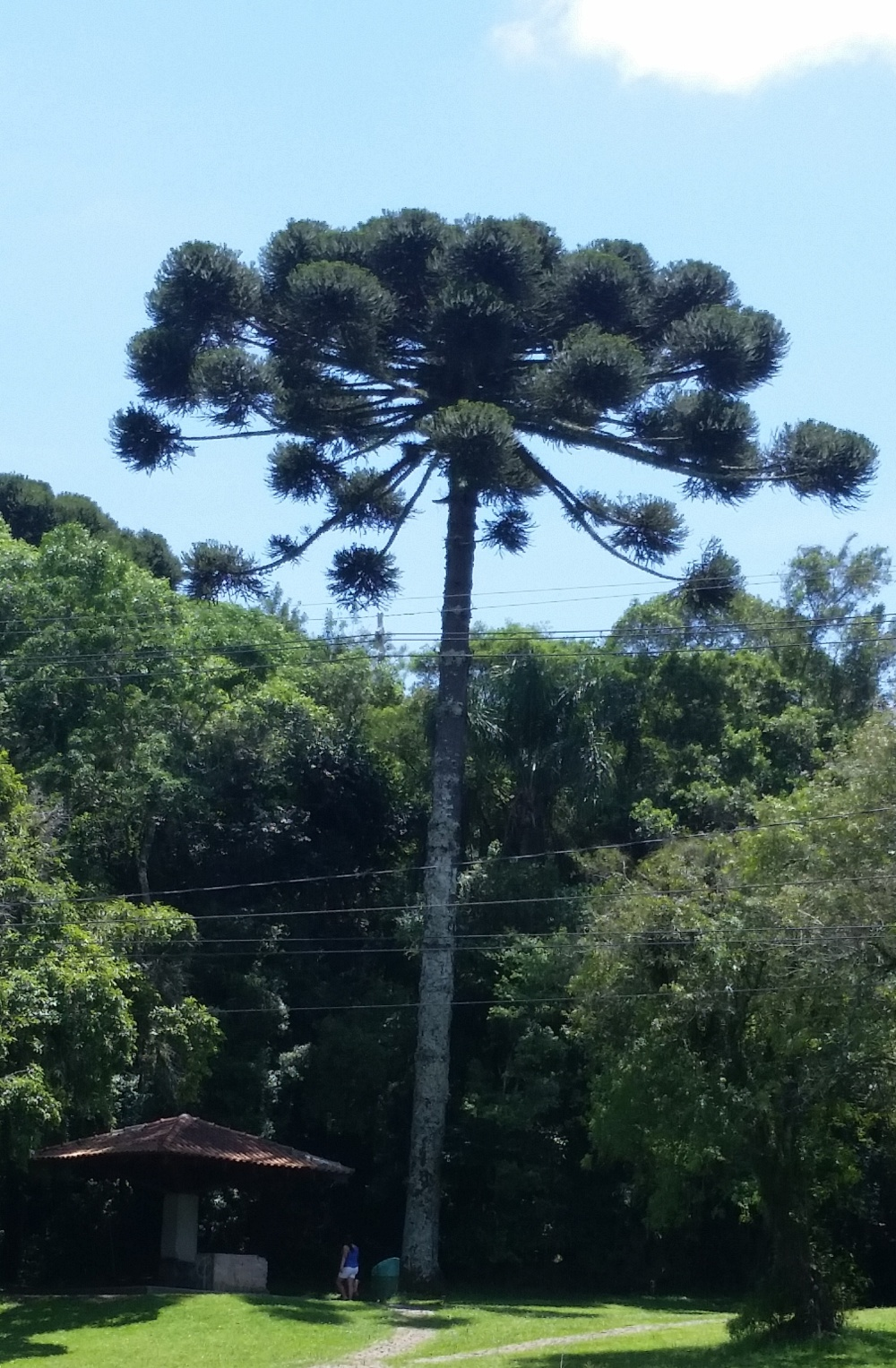 A beautiful araucaria