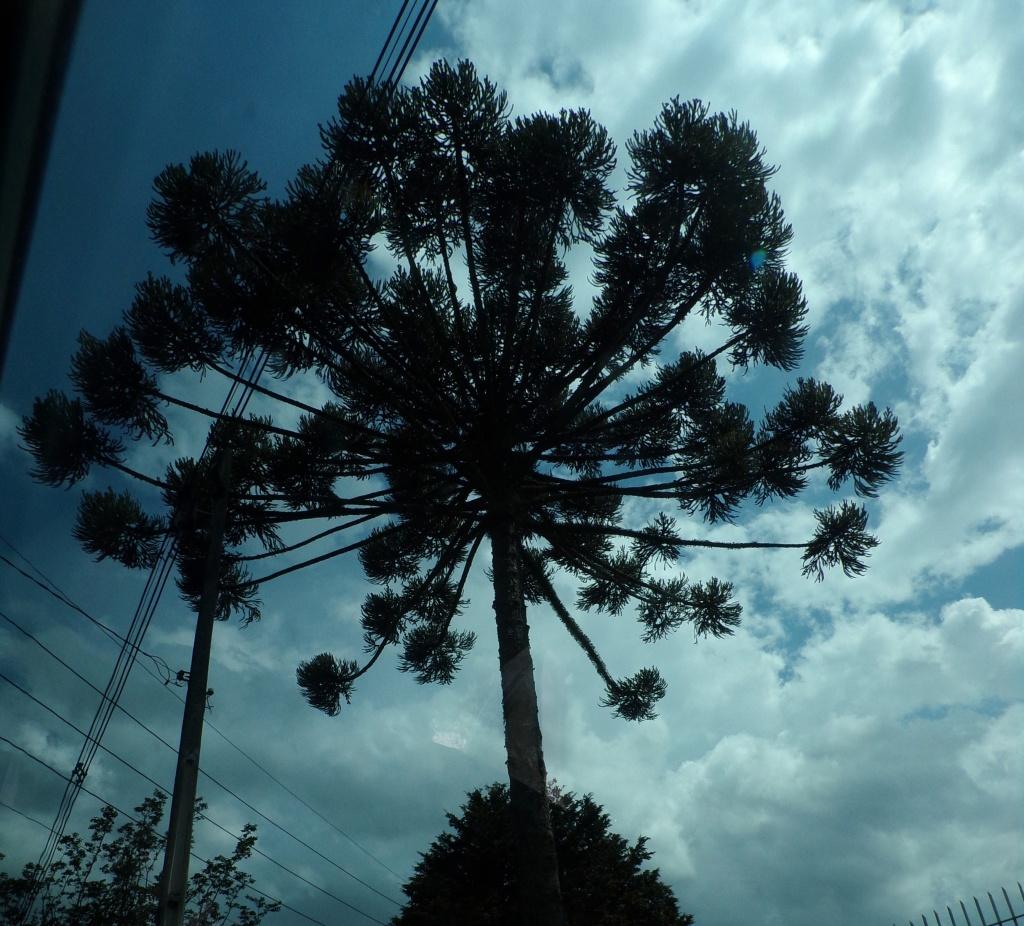 Towering araucaria against a darkening sky