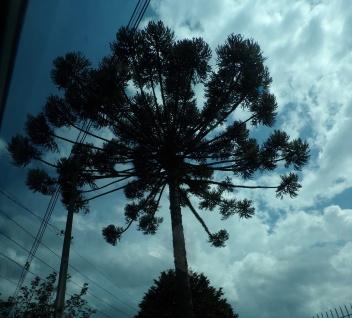 Towering araucaria against a darkening sky, Curitiba, Brazil