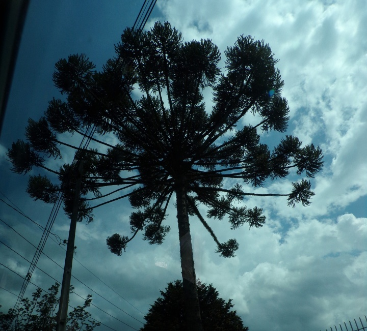 Towering araucaria against a darkening sky