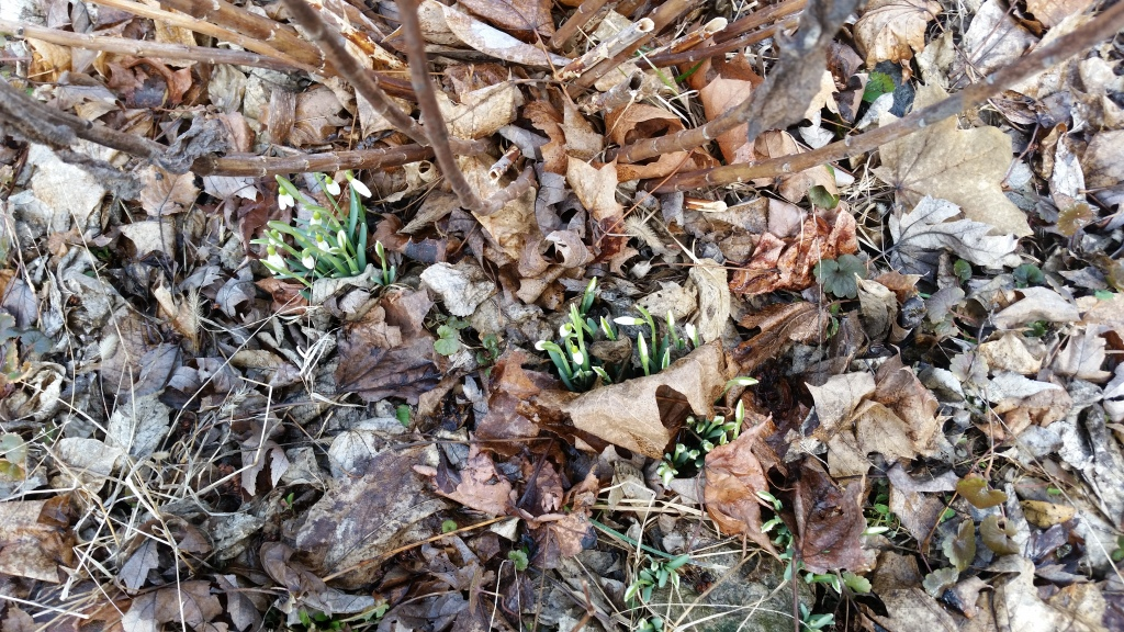 Snowdrops are out already!