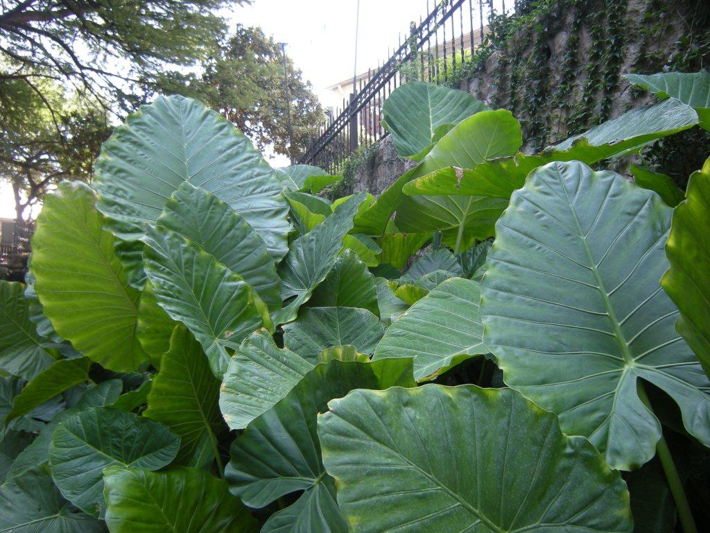 Large leafed plant