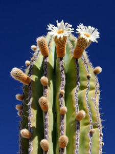 Cardon-Cactus-with-blooms