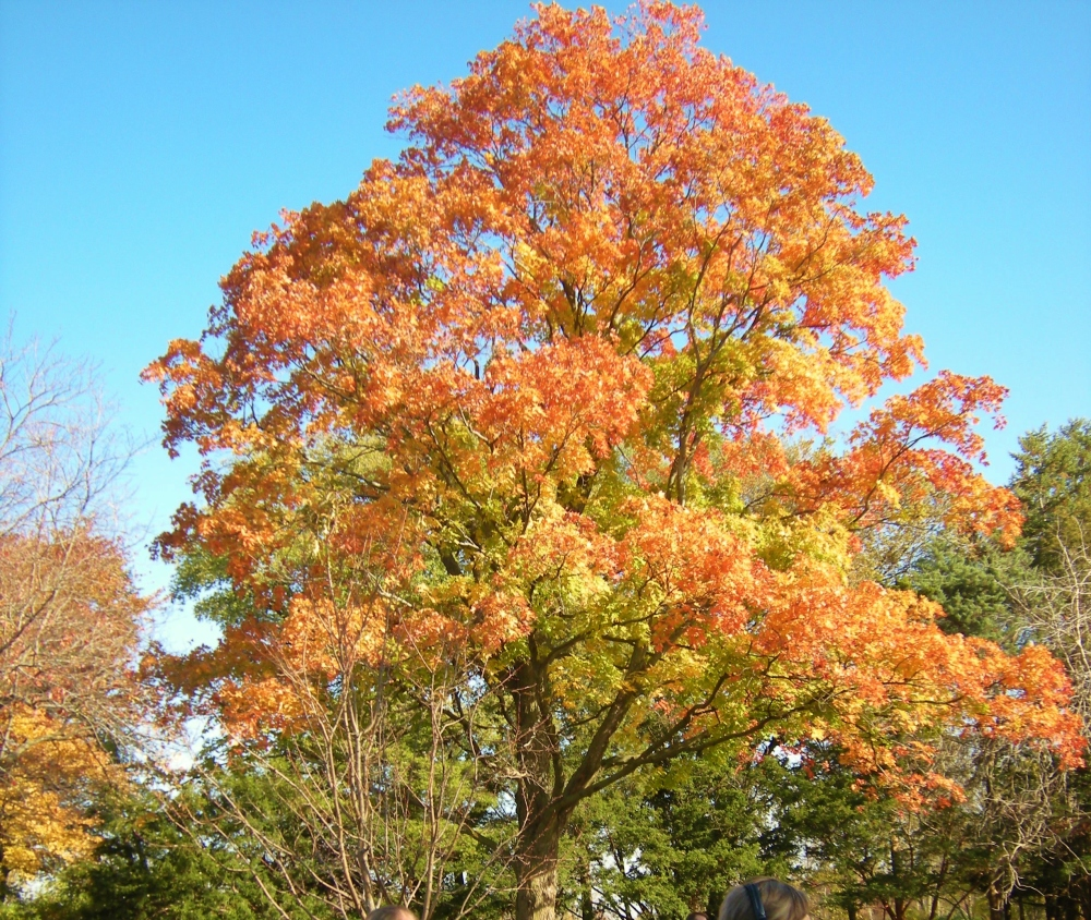 Brilliant colors of fall - maple tree near the wedding site