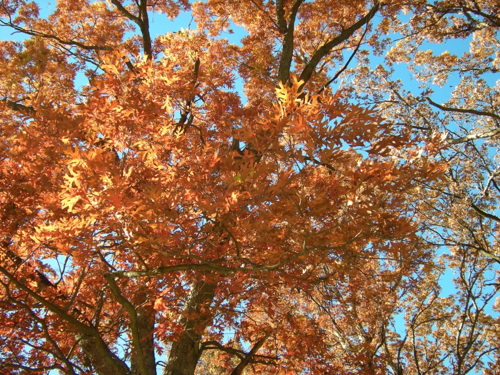 Close up of beautiful oak leaves